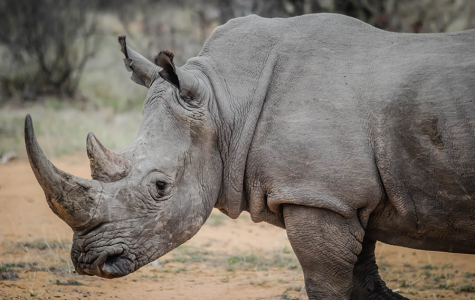 Last Male Northern White Rhinoceros Dies