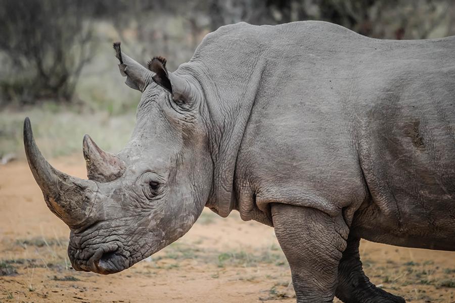 Last+Male+Northern+White+Rhinoceros+Dies