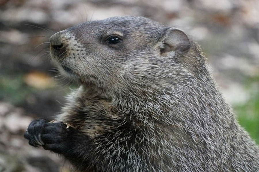 From Floods to Flurries: Doubting the Groundhog's Prediction